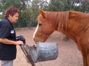 Cathy feeding a very grateful Billy. Notice how there is not a blade of glass in his paddock and no shelter from a storm.