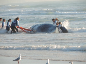 Rescuers helping attaching tow ropes to the whale.