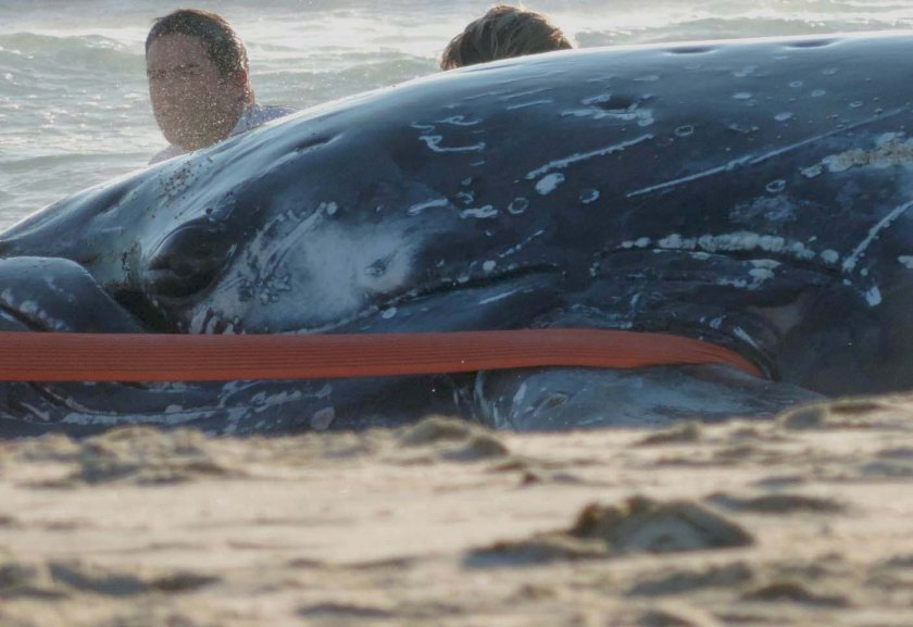 A juvenile whale stranded at Palm Beach, later swam out to sea.