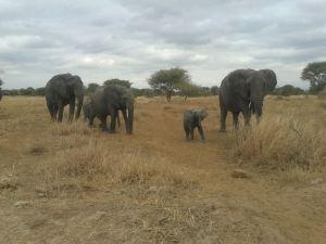 Elephant Ta (10)