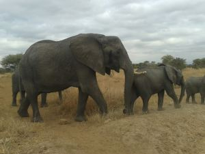 Want to see elephants? Tarangire will never disappoint you.