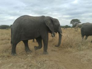 Elephant Ta (2)