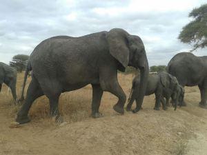 Elephant Ta (3)
