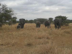 Elephant Ta (7)