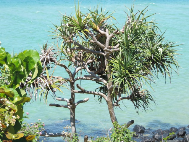 Pandanus at Burleigh Head under Tumgun Lookout.