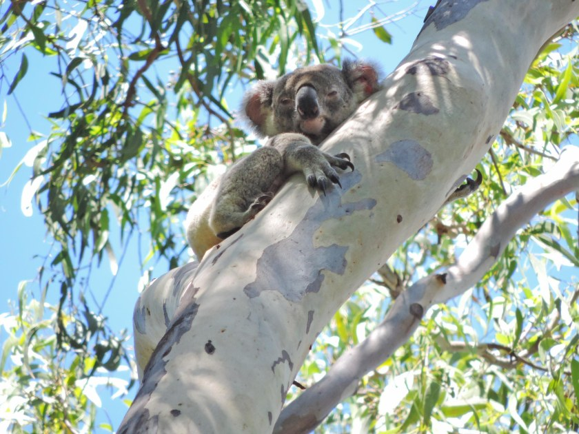 Koala Noosa National Park, Tea Tree Bay, Sunday 18th Jan 2015.