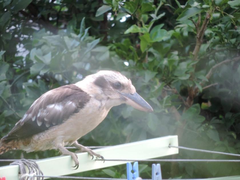 Kookaburra on my clothesline Feb 2015