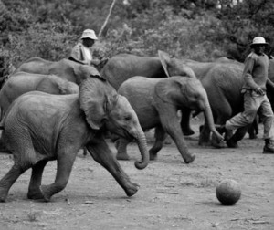 The Sheldrick Wildlife Trust baby elephants